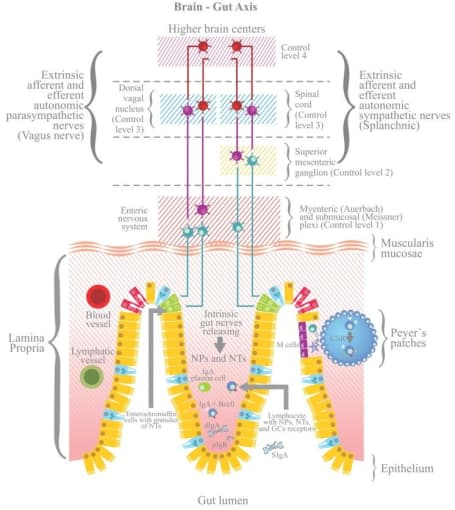 The enteric nervous system is complex and interacts with the central nervous system to form the gut–brain axis. CREDIT: Campos-Rodríguez R, et al. Stress modulates intestinal secretory immunoglobulin A. Front Integr Neurosci 7(86), 2013. (CC BY 3.0).