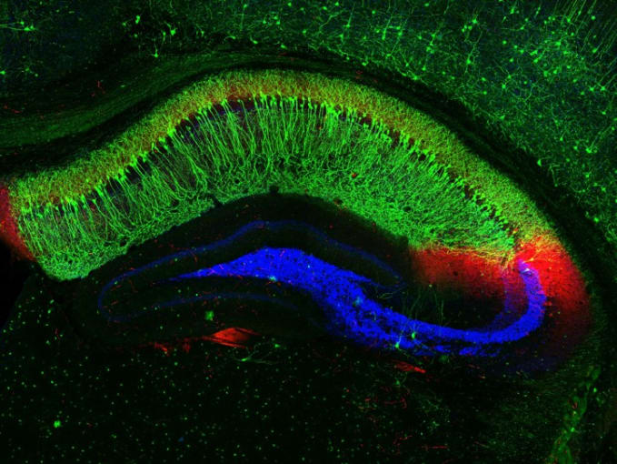 This image shows distinct neural connections in a cross section of a mouse's hippocampus, a region of the brain involved in the memory of facts and events. The large, crescent-shaped area in green is hippocampal zone CA1. In red is the hippocampal zone CA2. The blue area shows the transmission sites of nerve signals between neurons in the neighboring CA3 zone and dentate gyrus, part of the hippocampus involved in episodic memories. Credit: Raunak Basu, University of Utah, Salt Lake City